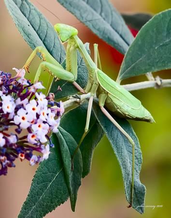 Praying Mantis Picture