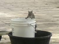 Bucket Squirrel