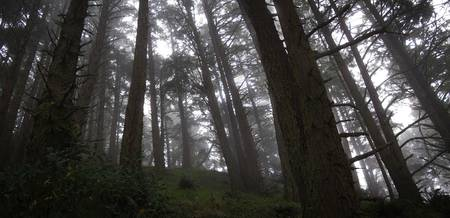 Redwoods Panorama