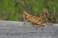 Grasshopper at Corkscrew Swamp