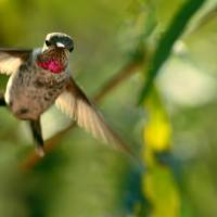 Anna's Hummingbird In Landing Position by Laura Mountainspring