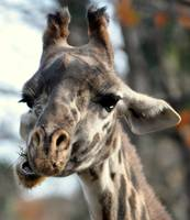 Close-Up Giraffe