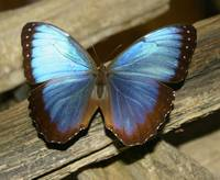 Morpho on Timber