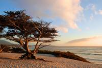 Monterey Cypress at Sunset