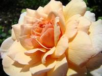 Peach Orange Rose Flower art Print Big Roses