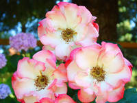 Rose Garden art prints Pink White Roses