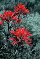 Wild Paintbrush Up Close