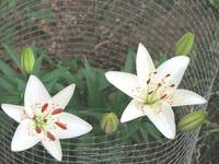 White Asiatic Lilly