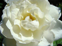 White Rose Flower Floral art prints Roses