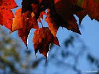 Red Maple Leaves Closeup IMG_3965