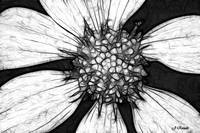 Chamomile Black and white