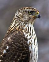 Portrait of a Cooper`s Hawk
