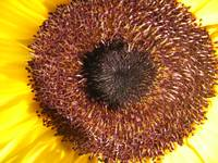 center of a sunflower