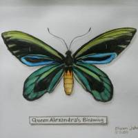 Queen Alexandra's Birdwing Art Prints & Posters by Shawn Johnson