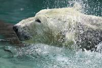 Water fun polar bear style