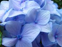 Blue Hydrangea Flower art prints Nature Colorful