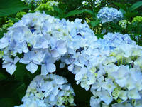 Landscape Nature art print Blue Hydrangeas Flowers