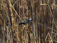 Black Capped Chickadee Feeds on Cattails