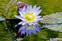 Purple Water Lily Inspired by Monet