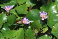Flowers on lilly pads