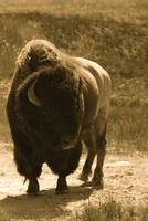 Buffalo (Bison) - sepia