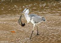 Blue Heron scores a big fish