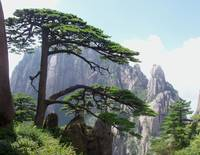 A beautiful green pine in the yellow mountain
