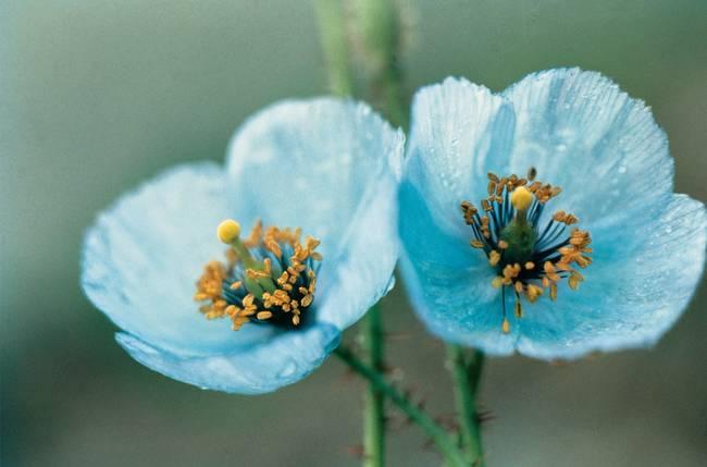 Himalayan blue poppy by the fine art masters fitting 000 mightylinksfo