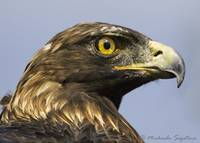 _53F3990 Golden Eagle