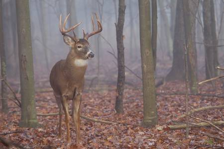 Whitetail Buck in Foggy Woods