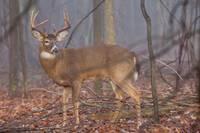 Morning Whitetail Buck by Daniel Teetor