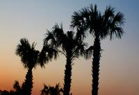 Palm Trees at sunset DW