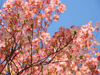Nature Landscape Trees Pink Dogwood Flowers Sky