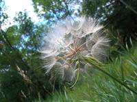 Large dandelion with trees