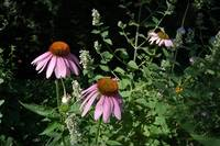 Pink Echinacea & Catnip Photo