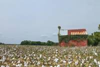 Hertford, NC Cotton Farm