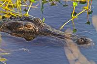 Gainesville, FL - American Alligator