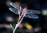 Pink Dragonfly by Carol Groenen