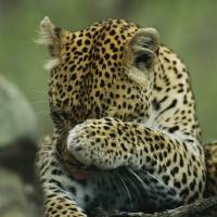 Leopard Grooming by National Geographic