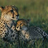 Female Cheetah and her Cub by National Geographic