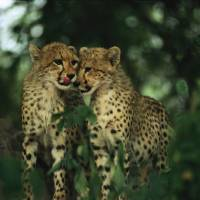 Nuzzling Cheetah Cubs by National Geographic