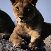 Female African Lion by National Geographic