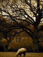 Sheep under a tree