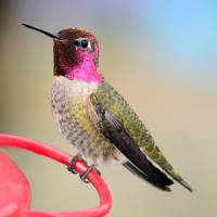 Anna's Hummingbird Posing by Laura Mountainspring