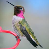 Anna's Hummingbird Posing II by Laura Mountainspring
