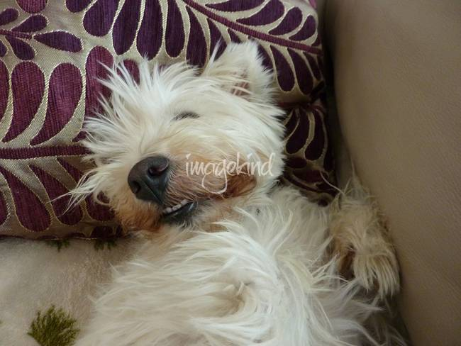 Beni Sleeping - West Highland White Terrier