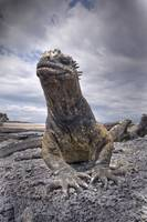 Marine Iguana from Ground Level