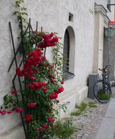 Visby Roses