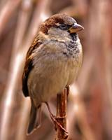 A Handsome Looking House Sparrow.