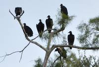 Turkey Vulture Conference